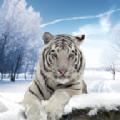 北极虎模拟器游戏官方安卓最新版 v1.0
