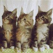 抖音三只猫点头动图gif表情包分享图片3
