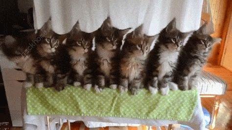 抖音一排猫咪点头gif原图 三只猫点头表情包高清分享[多图]图片3
