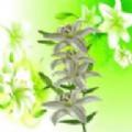 纯洁的百合花