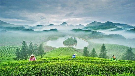 雨前茶是什麼時候的茶 螞蟻莊園雨前茶[多圖]