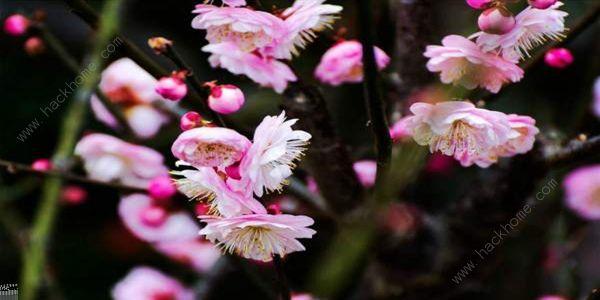 描写梅花的诗句聊赠一枝春 蚂蚁庄园描写梅花的诗句有哪些[多图]图片1