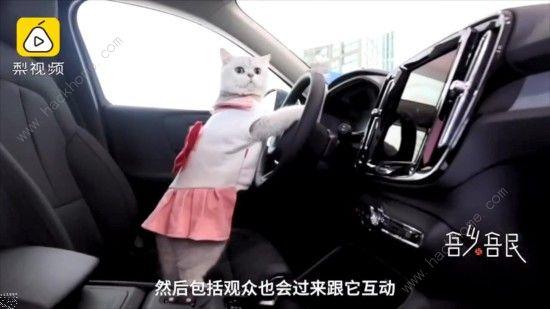 微博猫咪也能当车模? 出场费上万超敬业[多图]图片2