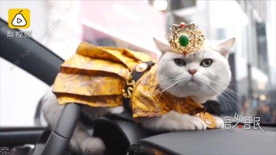 微博猫咪也能当车模? 出场费上万超敬业[多图]图片1