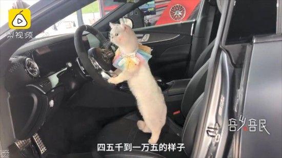 微博猫咪也能当车模? 出场费上万超敬业[多图]图片3